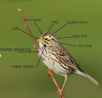 Savannah Sparrow identification