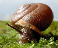 benefit of eating snail to the body