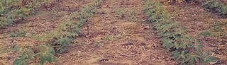 Tanah ultisol untuk lahan pertanian
