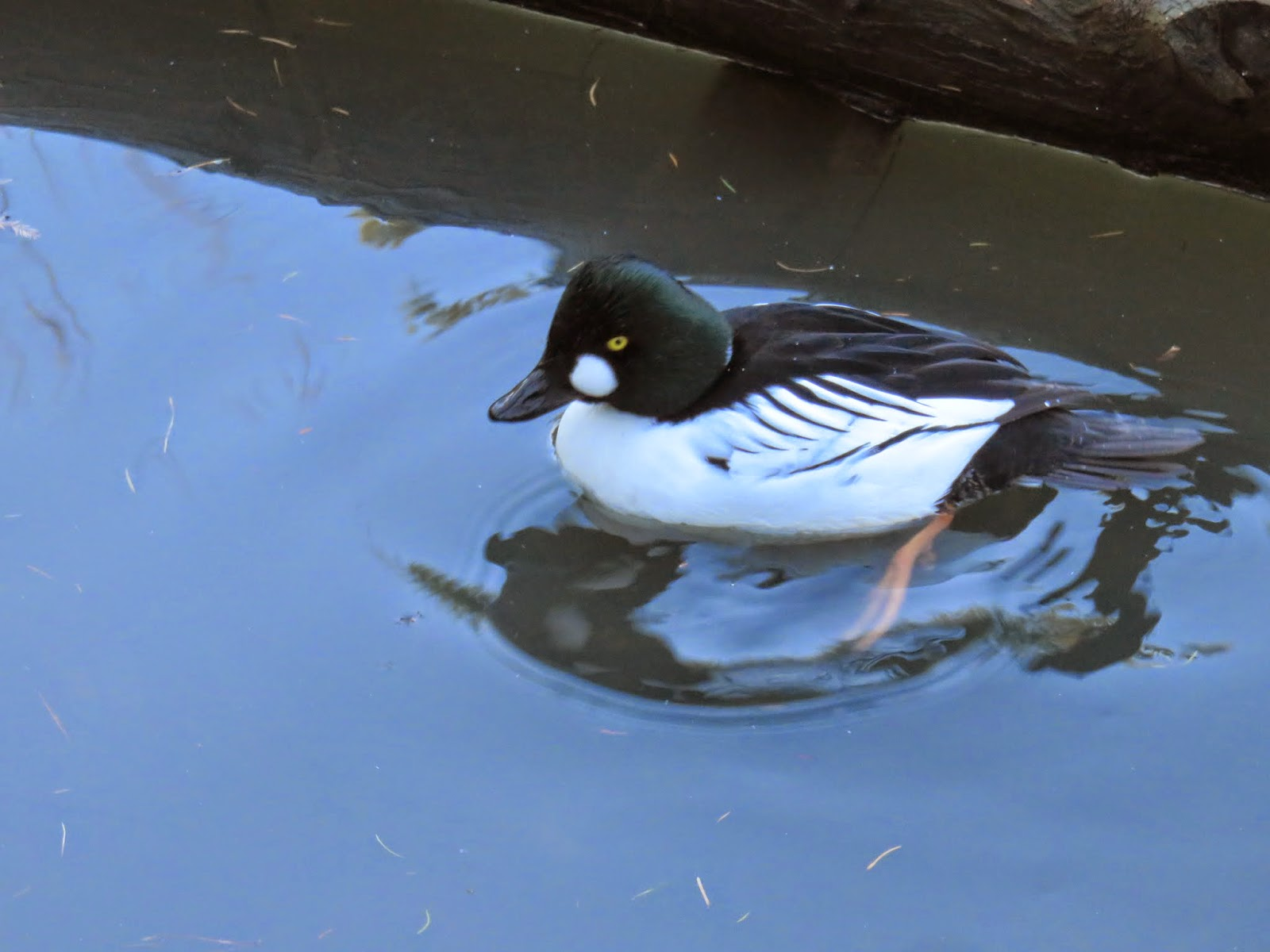 Goldeneye Duck at WWT London Wetland Centre