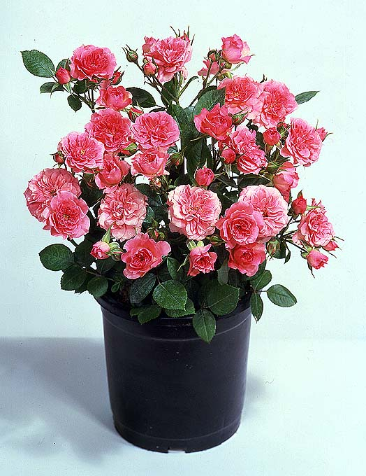flowers for flower lovers Miniature roses pictures