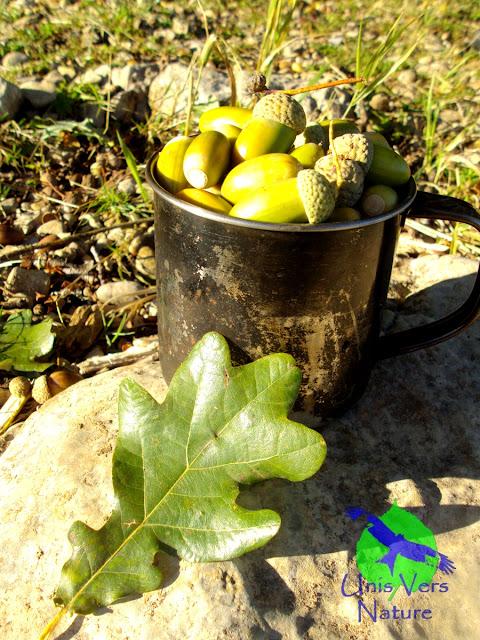 Cueillette glands, cuisine glands, stage cuisine plantes sauvages