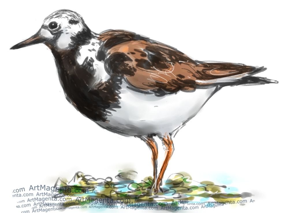 Ruddy Turnstone sketch painting. Bird art drawing by illustrator Artmagenta