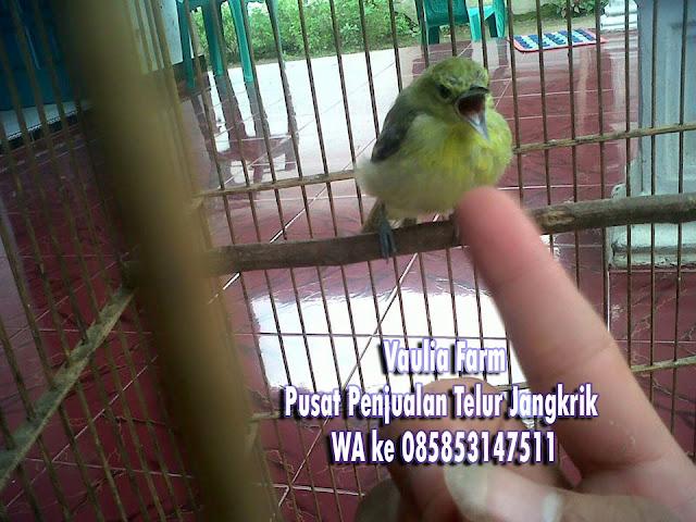cara memilih burung sirpu atau cipow