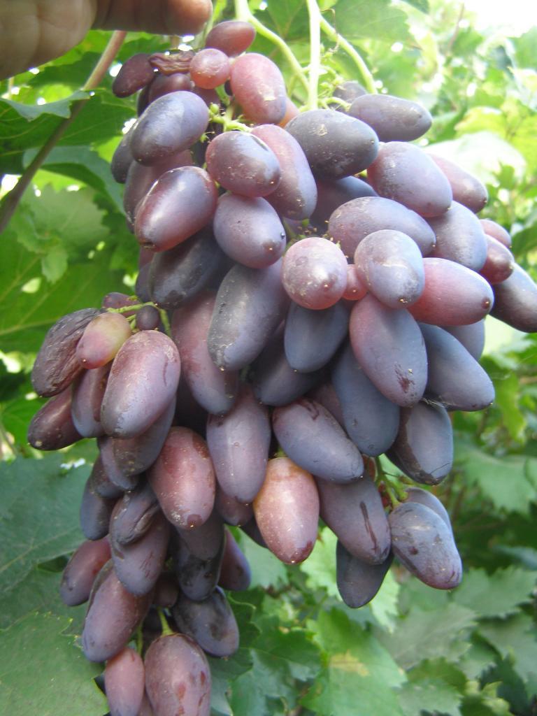 Bazhena - grapes with amazing qualities