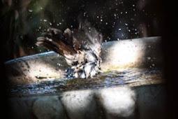 Manfaat Terapi Mandi Malam untuk Burung Berkicau agar Lebih Gacor
