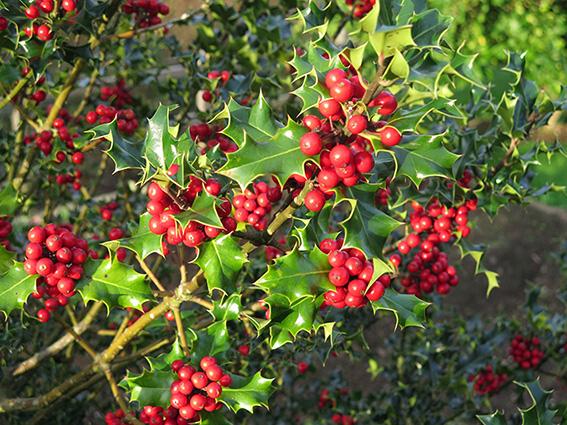 Arbustos que florecen en invierno for Arbustos perennes para jardin