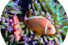 Keunikan ikan badut dan anemon