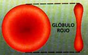 Imagen del glóbulo rojo a color
