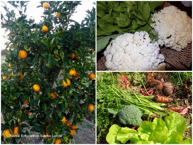 Naranjas, coliflor, lechuga, remolacha y zanahorias - Chacra Educativa Santa Lucía