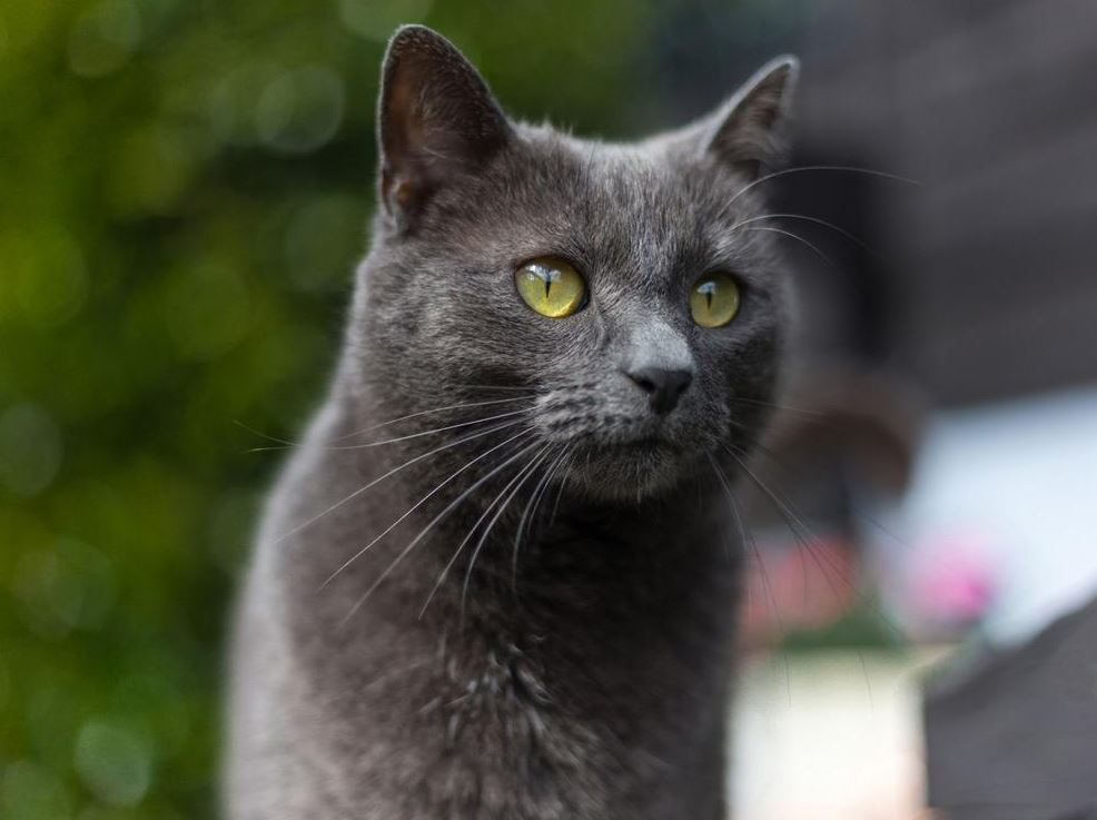 Types of Russian Blue Cats
