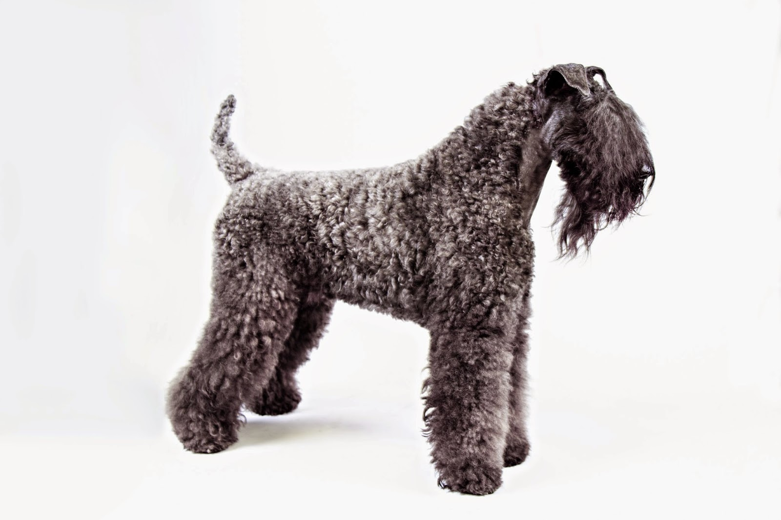 Kerry Blue Terrier New Jersey NJ DOG BLOG (from cats...