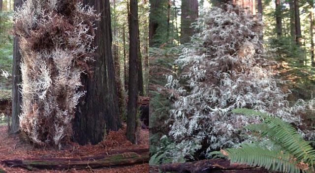 أشجار,الخشب الحمر,السيكويا,الأشجار الشبح,أشباح الغابة,الكلوروفيل