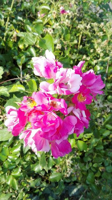 Roze struikroos
