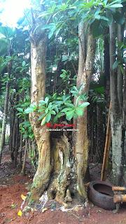 Jual pohon pulai atau pule