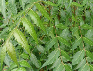 Benefits of Neem for hair, skin and health How to use neem to Treats Nail Problems