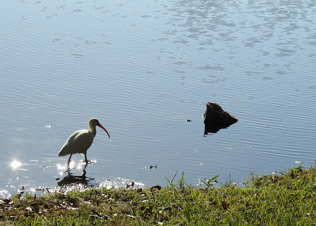 A white Ibis walking along the water at the edge of the pond.