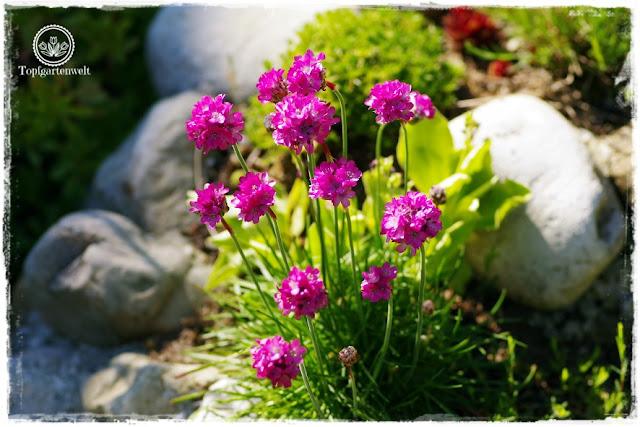 Gartenblog Topfgartenwelt Mein Frühlingsgarten: Grasnelke in der Steinspirale
