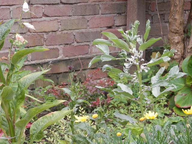 My garden, July 2016.  Diaries of a suburban, polyculture, food garden. secondhandsusie.blogspot.com #gardening #garden #polyculture #suburbangarden #growyourown