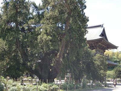 建長寺のビャクシン