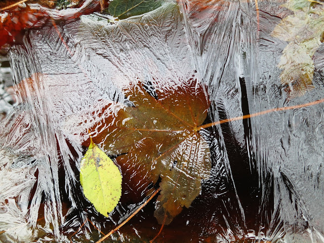 Brown sycamore leaf under ice with yellow leaf from another tree on surface.