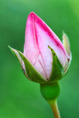 صور ورد وأزهار مميزة Rose_bud.jpg