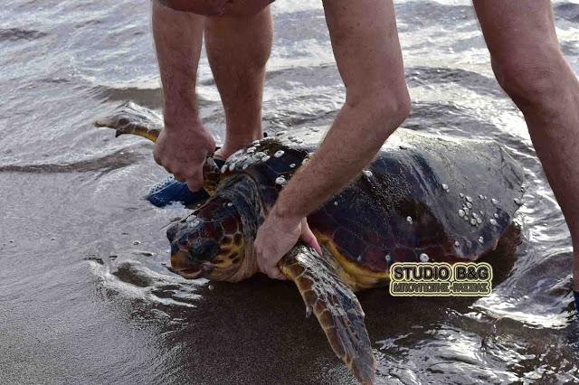 Τραυματισμένη χελώνα Καρέτα - Καρέτα στην παραλία Φράγχθι στην Κοιλάδα Αργολίδας - Μεταφέρθηκε για περίθαλψη