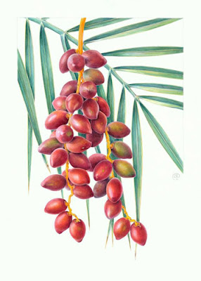 'Fresh dates, Phoenix dactylifera'  by Shevaun Doherty