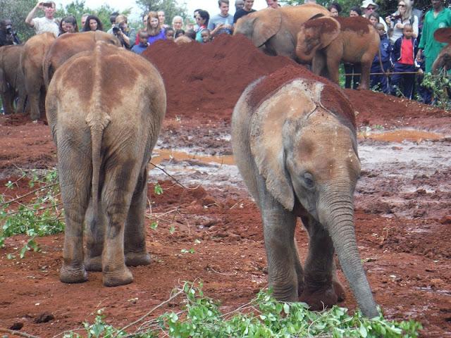 Elefantes comiendo hojas y ramas tiernas