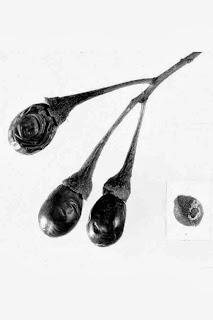 Fruit Seeds of Southern Michigan: Sassafras albidum