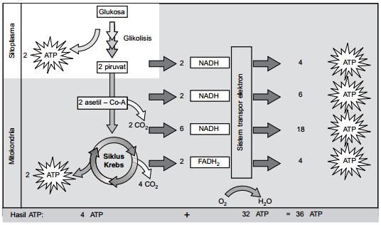 Hasil respirasi seluler dalam bentuk ATP