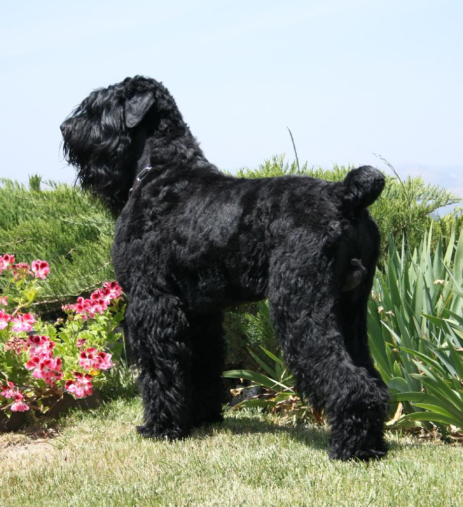 The dog in world: Black Russian Terrier dogs