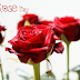 {7 Feb} Rose Day - Quotes, SMS, Wishes, Greetings, Messages, Shayari, Text with Pictures, Wallpapers, Images for Whatsapp/ Facebook/ Twitter DP Updates