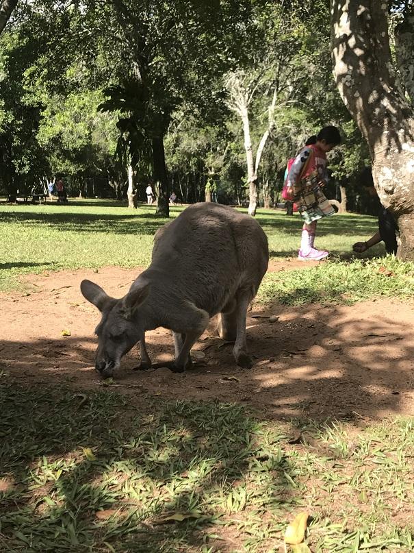 wild australia kangaroo