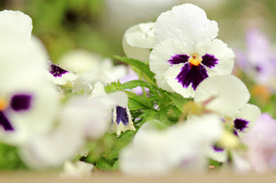 White and Purple Pansies Flower Photography by Mademoiselle Mermaid