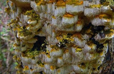 Inonotus glomeratus yellow cap resupinate polypore
