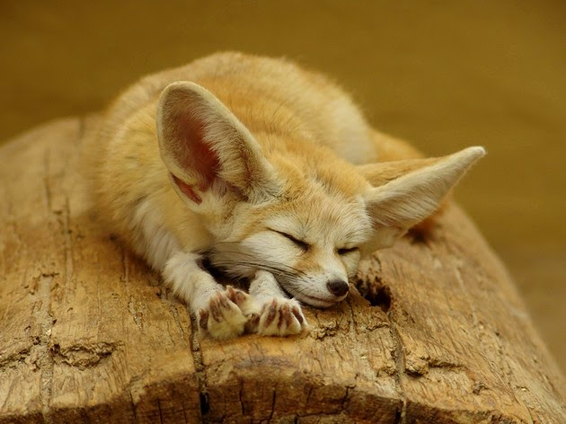 heartwarming photos of foxes