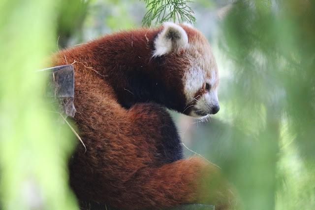 Panda rojo oculto entre las ramas