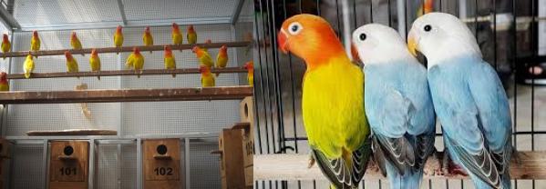 contoh Ternak Lovebird