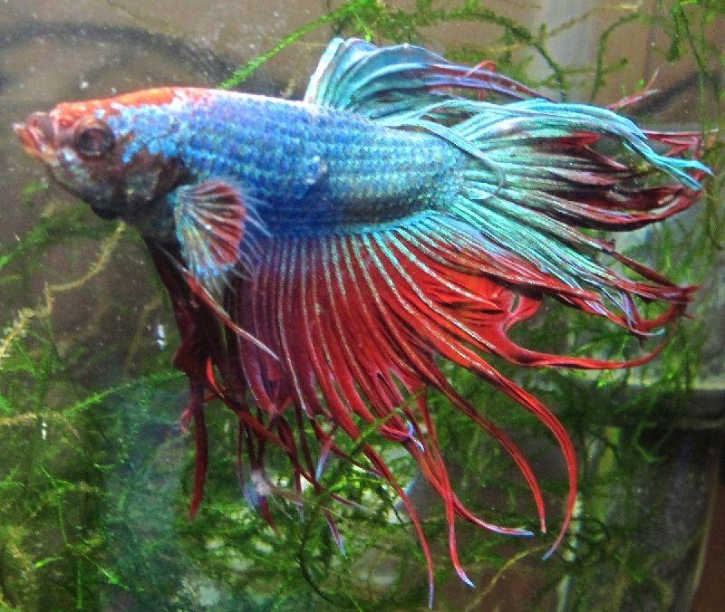 Gambar Ciri Ciri Ikan Hias sakit Atau Stres-Ikan Cupang