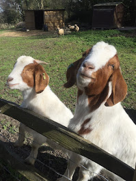 Our Wonderful Boer Goats