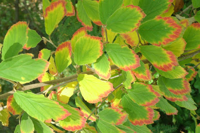 Hamamelis x intermedia  Arnold Promise witchhazel fall colour by garden muses--a Toronto gardening blog