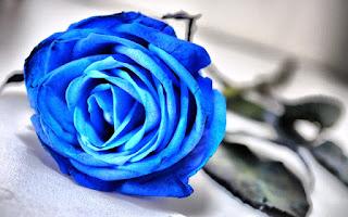 Gambar Bunga Mawar Biru Paling Cantik_Blue Roses Flower 200015