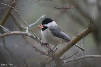 same chickadee with huge nut in his tiny bill