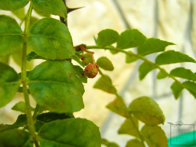 Pieprzowiec syczuański (Zanthoxylum simulans/bungeanum) - co to jest, jak rośnie? Uprawa, pielęgnacja, pochodzenie, kwiaty, owoce.