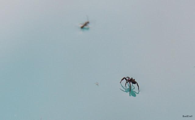 Araignée et fourmi courant à la surface de l'eau