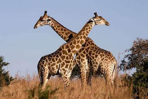 Самые высокие животные
