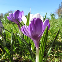 Purple Crocus Group