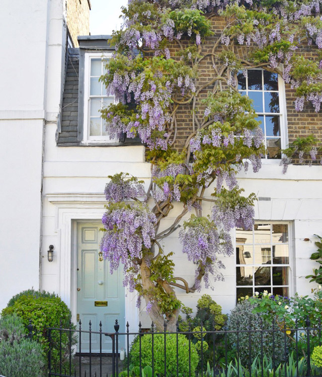 20 West London Wisteria Hysteria Houses: A Walking Tour