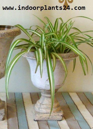 Chlorophytum Comosum Vittatum Liliaceae  SPIDER PLANT
